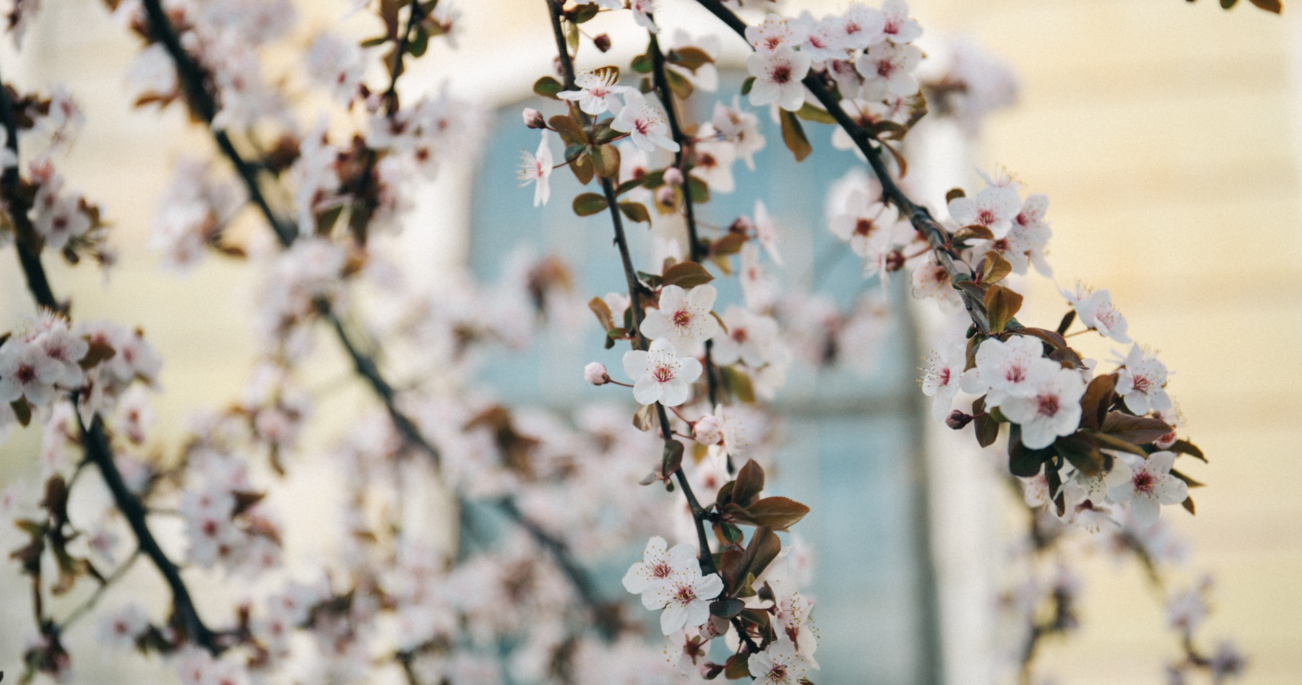 Where and when to catch the cherry blossoms in japan tinggly journal - Romanian cherry tree varieties ...
